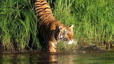 bangladeshinformation.info_TigerInSunderban-400x225.jpg